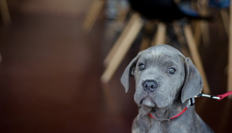 Italian mastiff puppy at Alliance Brewing Co. in South Knoxville