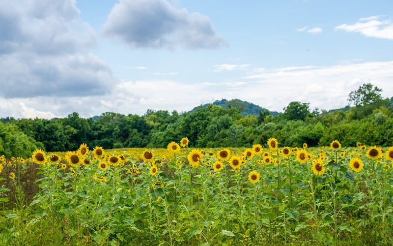 Sunflowers in South Knoxville